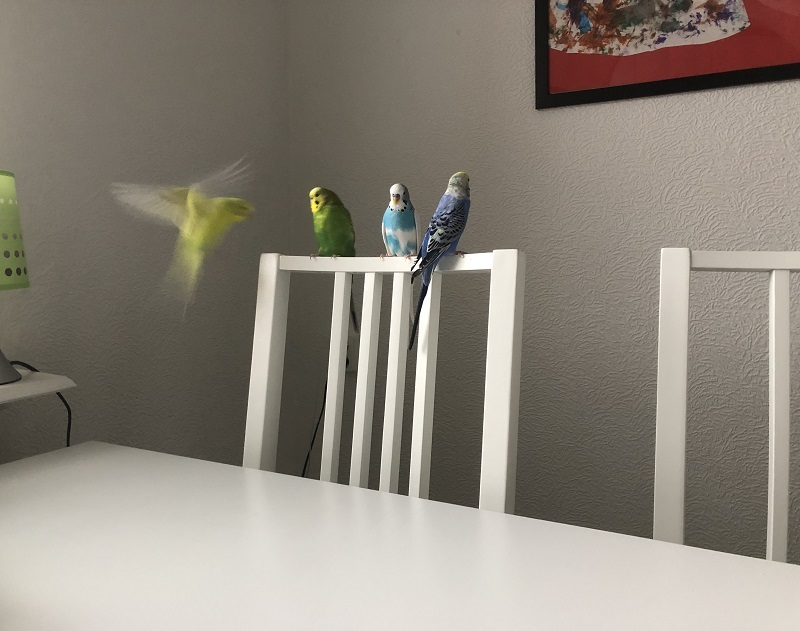 Budgerigars or Budgies - your home parrots